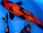 Les Eaux de la Mulle - Ko� / poissons Japonais